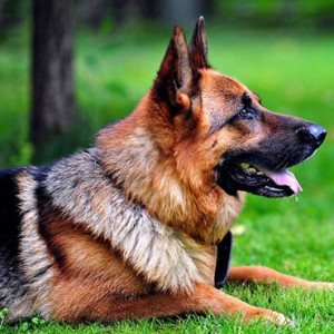 Best Dog Food for German Shepherds: A Nutritionally Balanced Diet