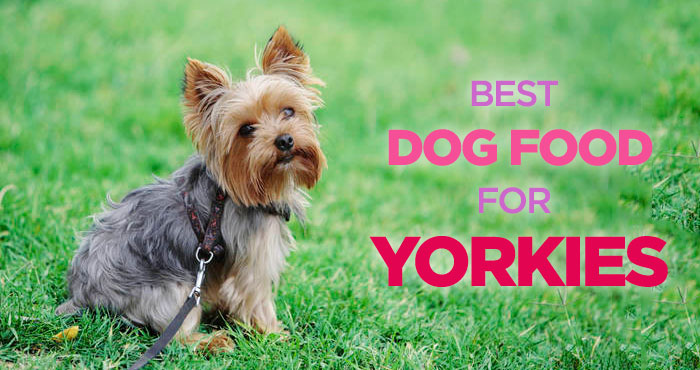 Best Dog Food for Yorkies