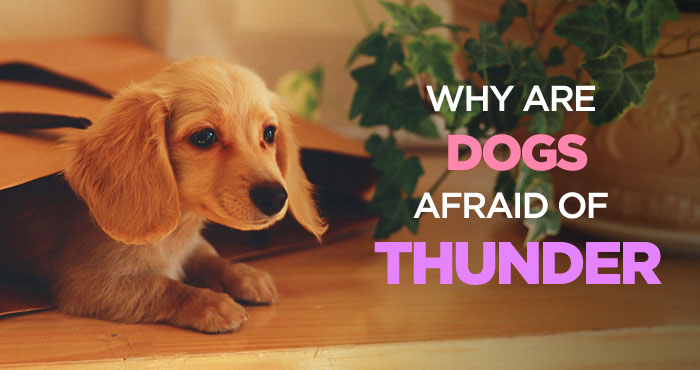 Why Are Dogs Afraid of Thunder: How to Calm a Dog During a Storm