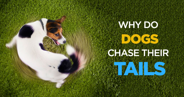 Why Do Dogs Chase Their Tails: Is It a Sign of Mental Illness?