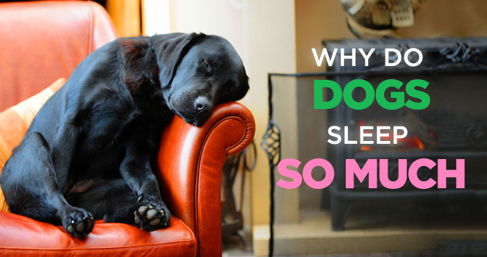 Why Do Dogs Sleep So Much? No. It's Not Because He's Lazy