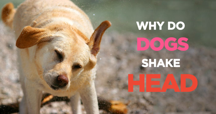 Why Is My Dog Shaking? Causes and Treatment for Dog Shaking & Shivering