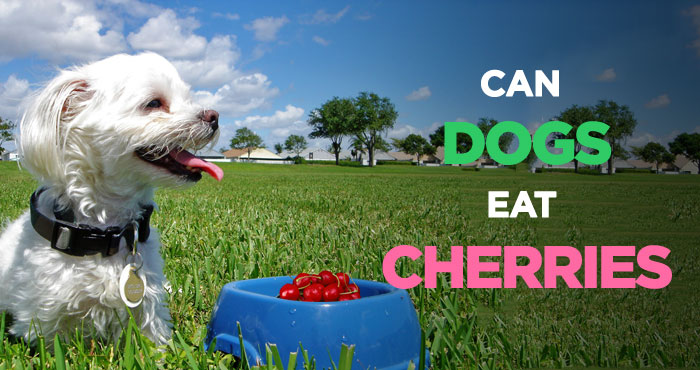 Can Dogs Eat Cherries: A Tasty Treat, but Is It Safe for Dogs
