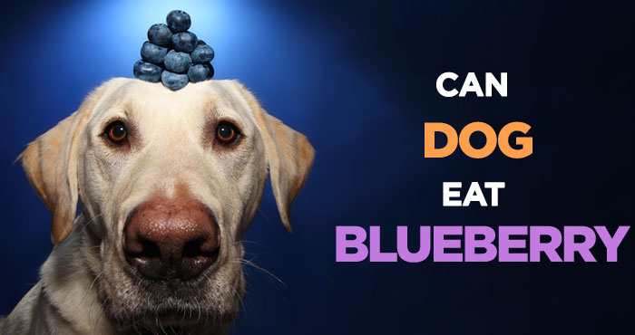 Can Dogs Eat Blueberries: How Safe Is Low-Calorie Dog Treat