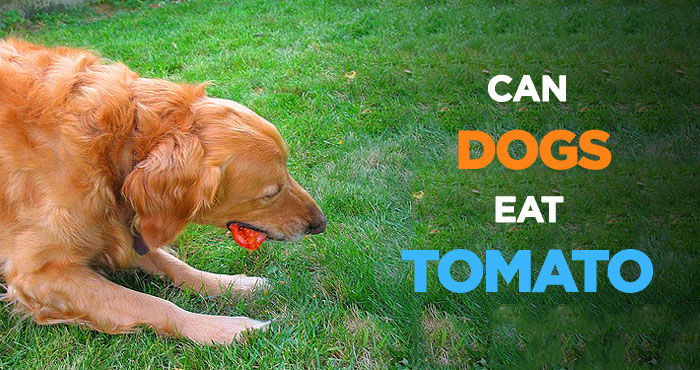 Can Dogs Eat Tomatoes: How About Tomato Sauce & Soup?