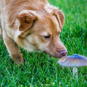 Can Dogs Eat Mushrooms: A Delicious & Healthy Low-Calorie Snack
