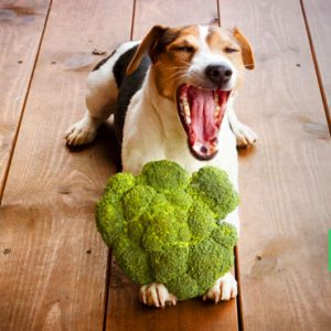 Can Dogs Eat Broccoli: Raw or Cooked? and How Much Is Too Much!