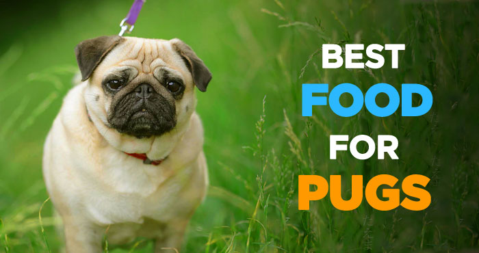 Best Dog Food for Pugs: What to Feed Your Pug & Feeding Tips