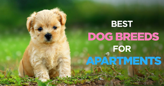 Best Dogs for Apartments: Finding The Perfect Apartment Dog Breed
