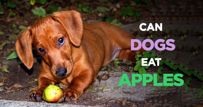 Can Dogs Eat Apples: The Delicious but Poisonous Dog Treat