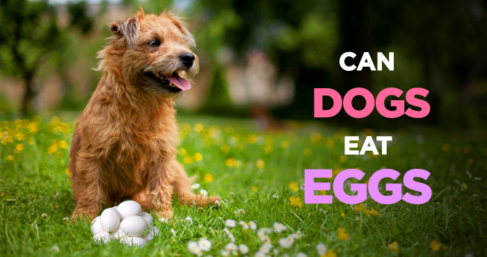 Can Dogs Eat Eggs: An Incredibly Healthy & Nutritious Dog Treat